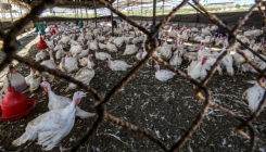 Indonesia to cull 3 mn chickens to aid poultry sector