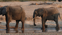 10 more dead elephants in Zimbabwe, suspects bacteria