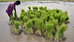 Kharif crops sown over record 1095.38 hectares