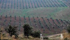 Smuggled olive trees from Syria flourish in Iraq