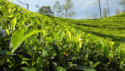 ABB digitises gas supplies control for tea gardens