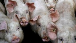 Pig pandemic hurts German pork sector with export ban