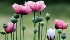 Manipur seeks help to end illegal poppy cultivation