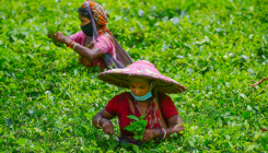 Nepal's tea production hit by Climate change, Covid-19