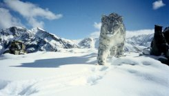 Up the mounts, science and society save snow leopards